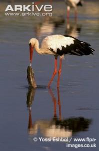 White-stork-feeding-on-catfish