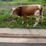 Vacas a pastar na berma da estrada