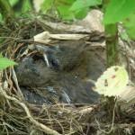 Um  ninho no Refúgio de Aves Dr. Alexander Skutch Los Cosingos