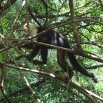 O macaco de cara branca