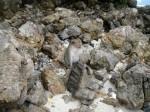 Tailândia | macaco da illha de Moo