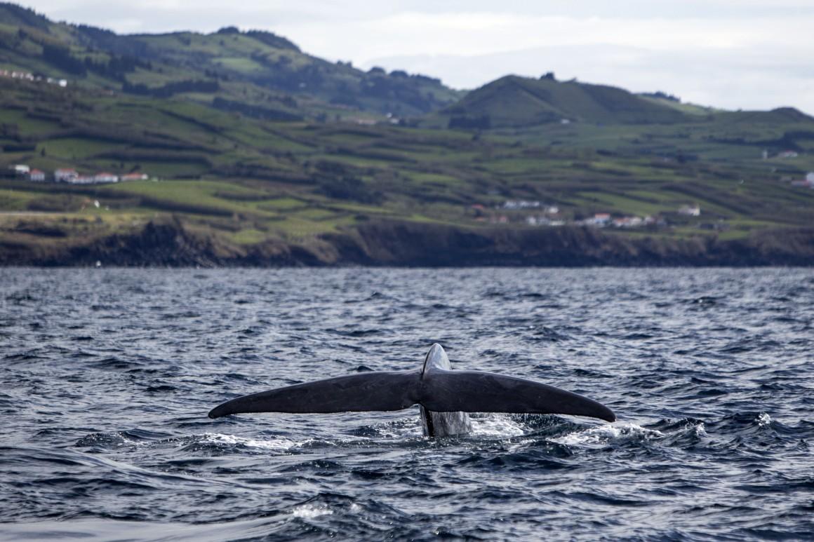 Baleia azul - Foto de Manuel Roberto