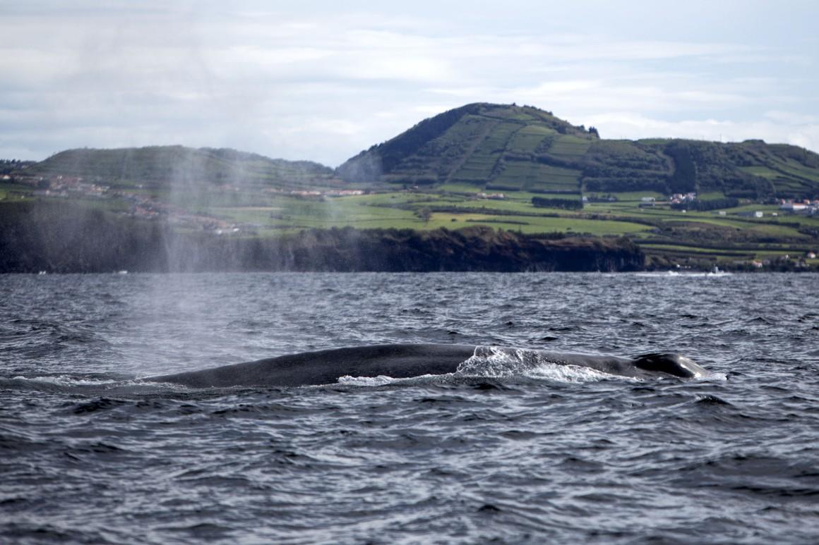 A baleia azul - Foto de Manuel Roberto