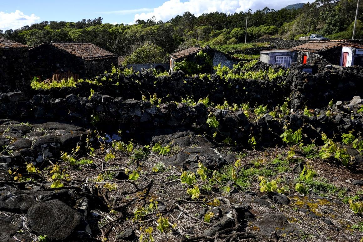 Vinha no Pico - Foto de Manuel Roberto