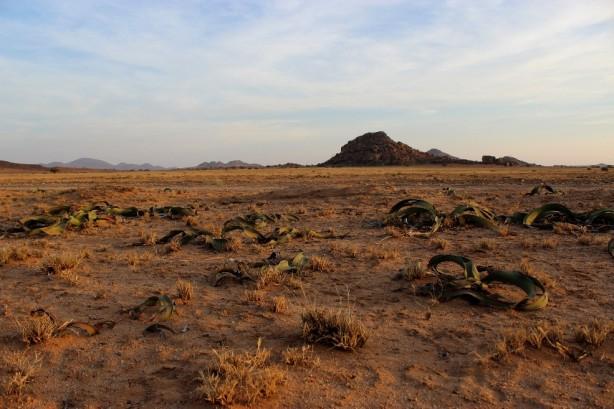 namibe_welwitschia_mirabilis2000