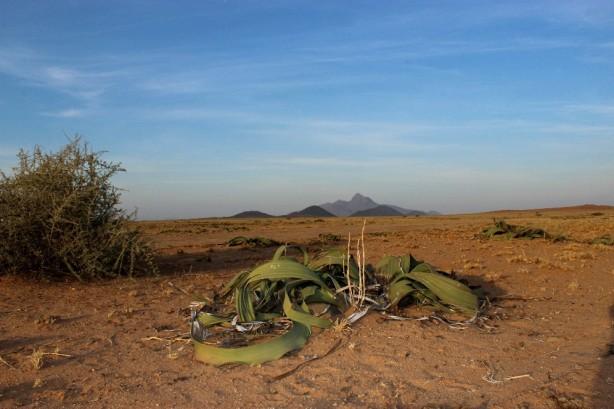 namibe_welwitschia_mirabilis_1000