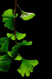 Ginkgo_Biloba_Leaves_-_Black_Background