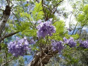 Jacaranda-mimosifolia-Mascarin