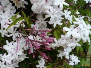 jasminum-polyanthum-visoflora-11213
